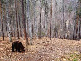 Кафява мечка(Ursus arctos).