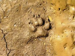Стъпка от вълк